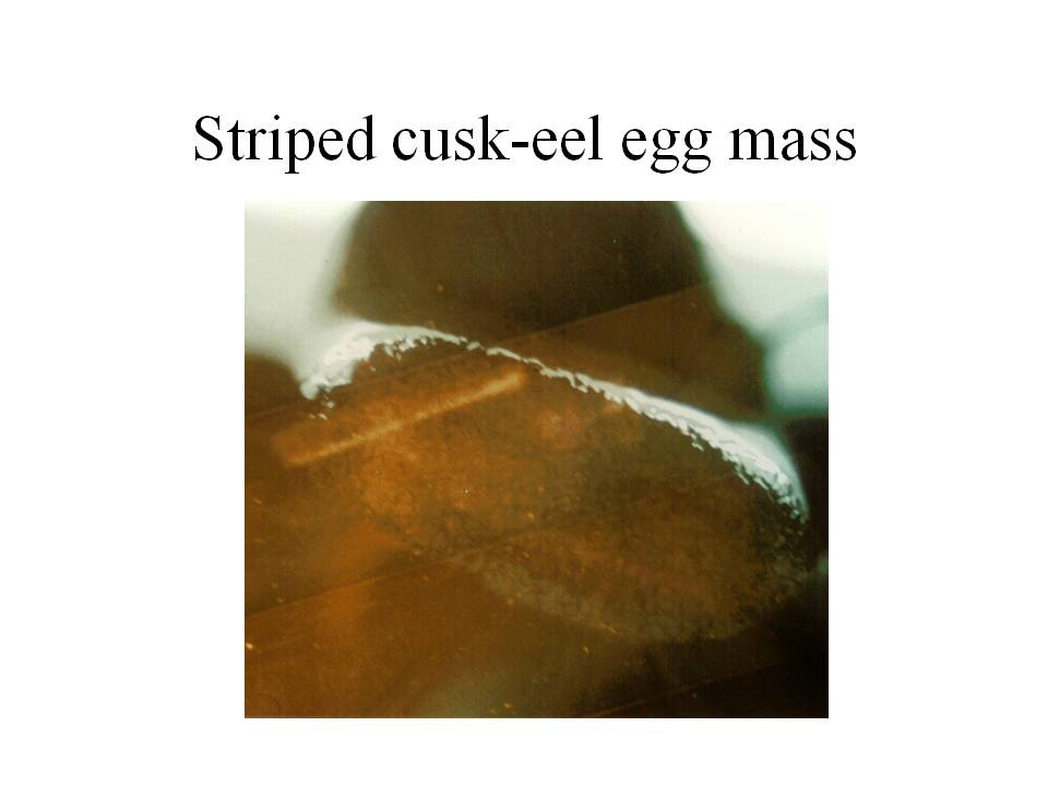 photo of striped cusk-eel egg mass