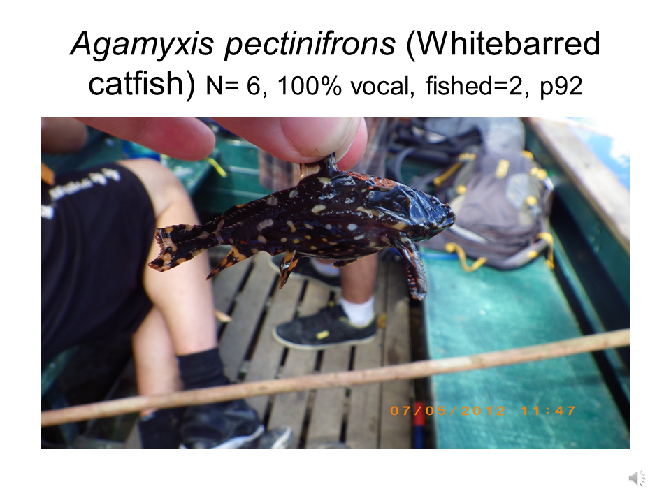 Agamyxis pectinifrons