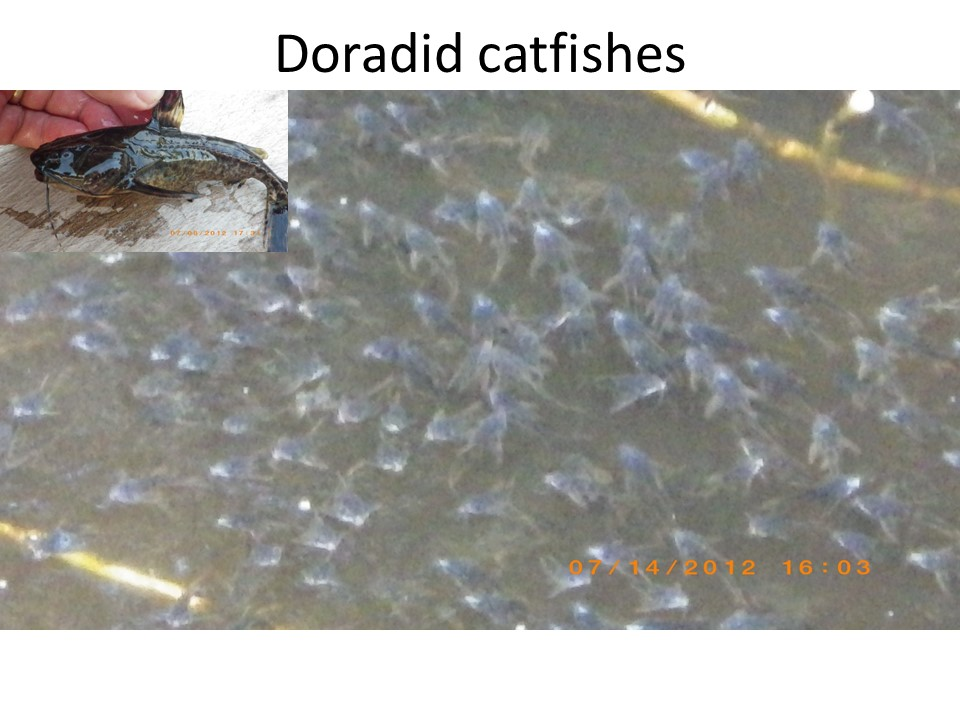 Cory catfish migrating down river