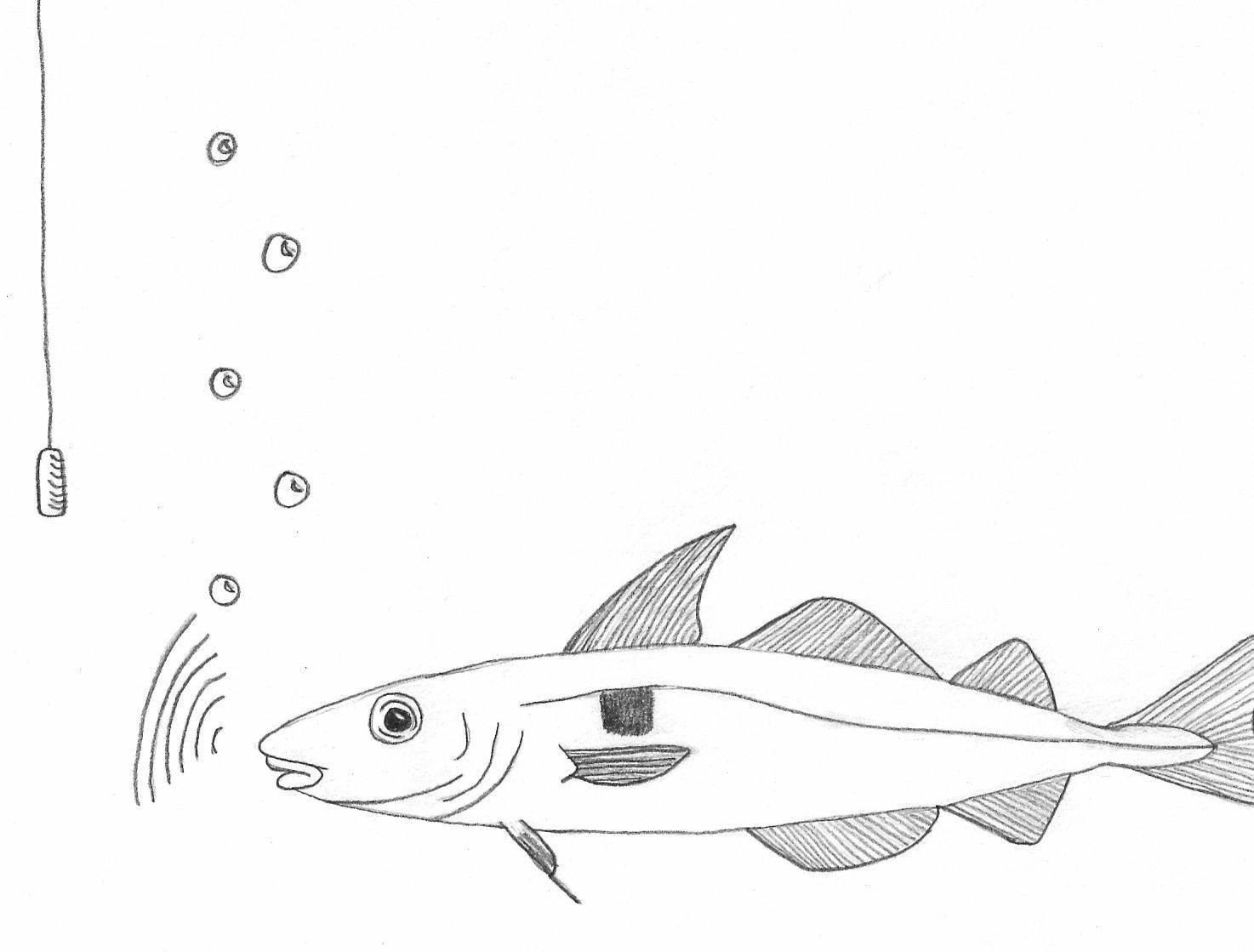 studies of soniferous fishes vocal behavior of fish