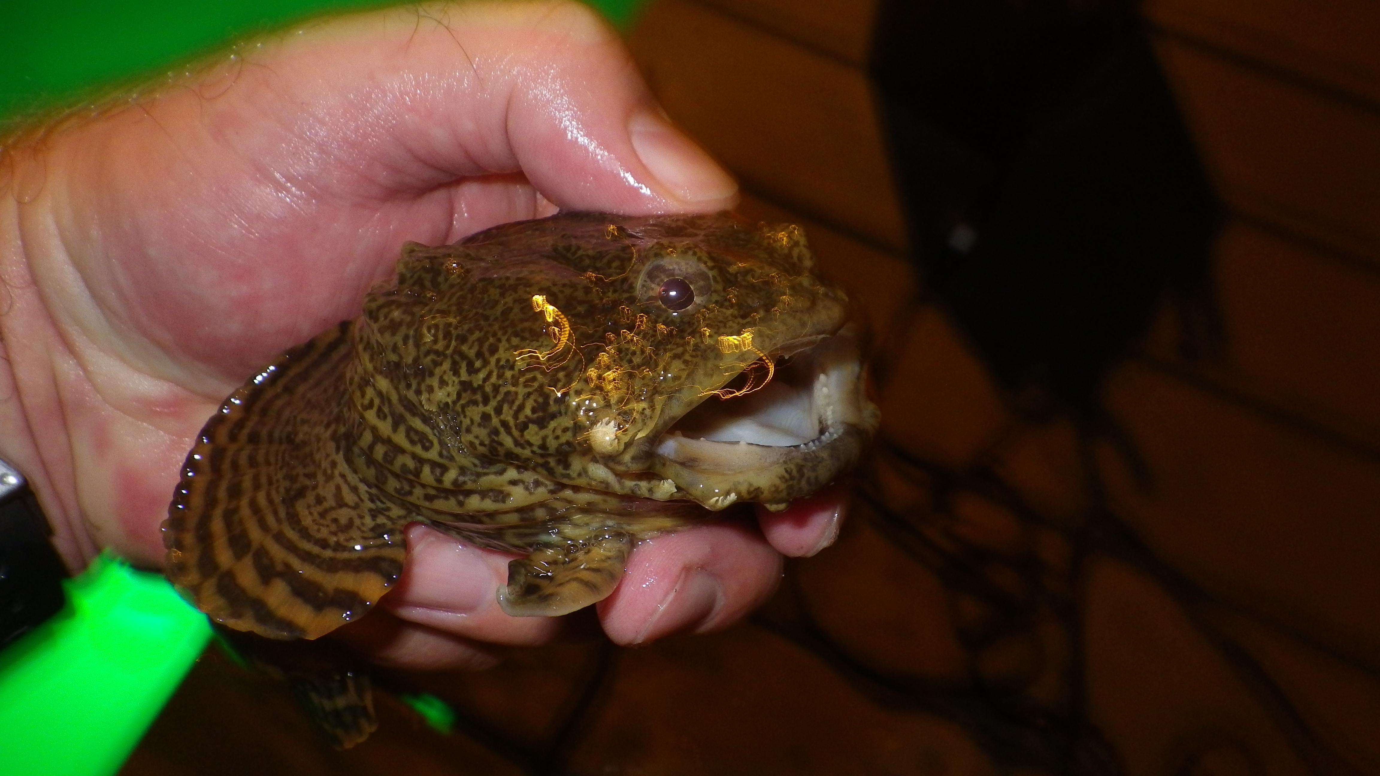 oyster toadfish, Opsanus tau